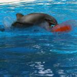 Delfin im Mirage. © Tanja Banner