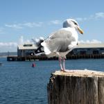Wasservogel vor Monterey. © Tanja Banner