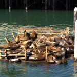 Faule Seelöwen in Monterey. © Tanja Banner