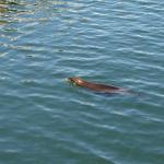 Seelöwe in Monterey. © Tanja Banner