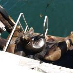 Seelöwen in Monterey. © Tanja Banner
