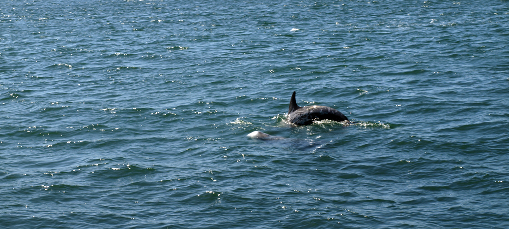Delfin im Pazifik. © Tanja Banner