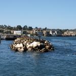 Seelöwen vor Monterey. © Tanja Banner