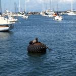 Seelöwe vor Monterey. © Tanja Banner