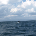 Die Schwanzflosse eines Buckelwals. © Tanja Banner