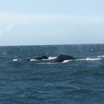 Zwei Buckelwale, angeblich Mutter und Kind. © Tanja Banner